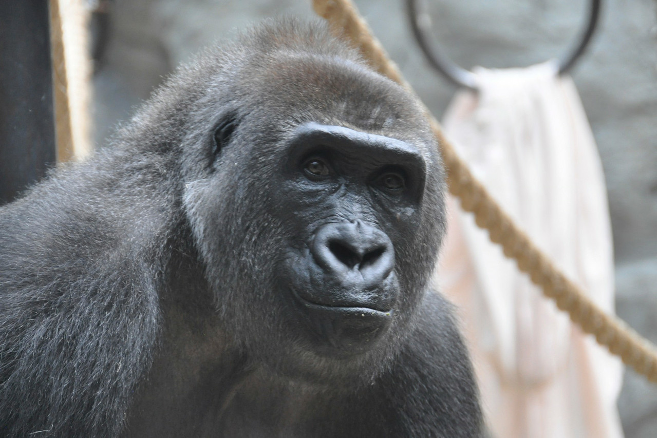 Skeptical Gorilla says I'm not impressed by your camera