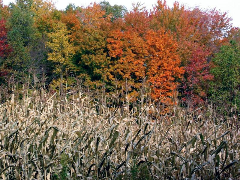 Autumn Cornfield- Springville NY