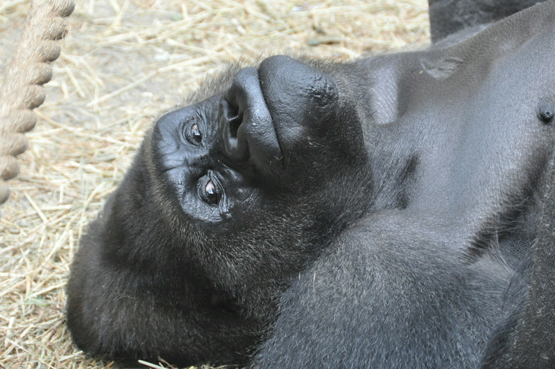 Male Gorilla- Buffalo Zoo