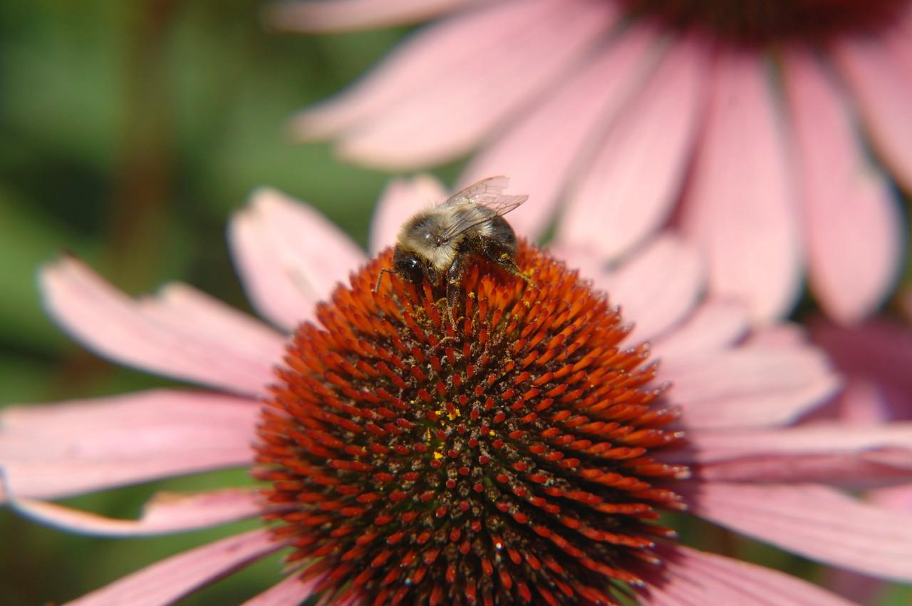 Bee and Flower- Ogunquit Maine