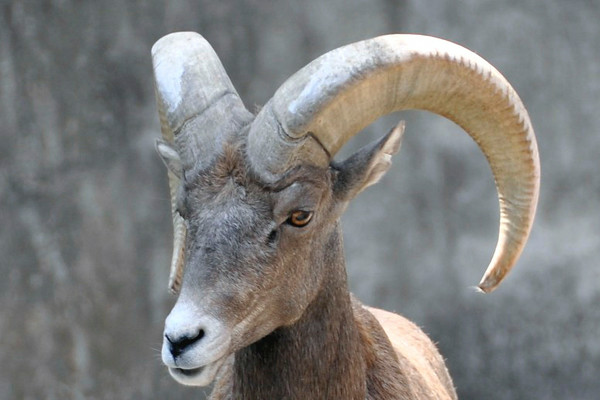 Big Horn Sheep- Buffalo Zoo