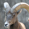 Big Horn Sheep- Buffalo Zoo