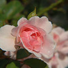 Rose After a Rainshower- Ogunquit Maine