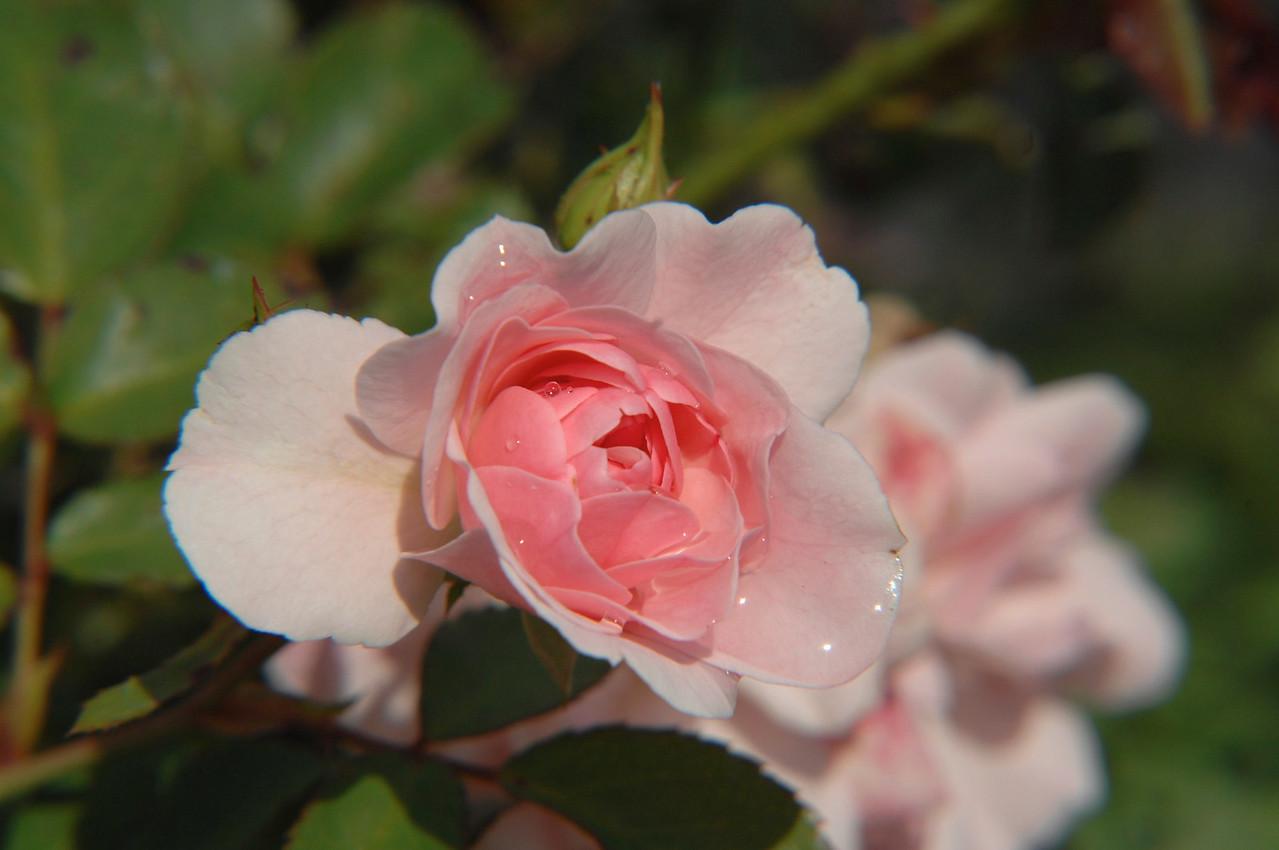 Rose After a Rainshower- Ogunquit Maine