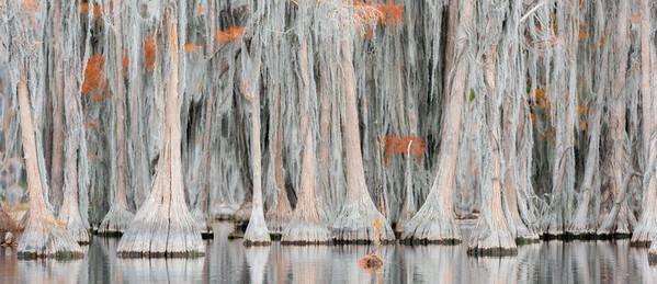Pumpkin Cypress