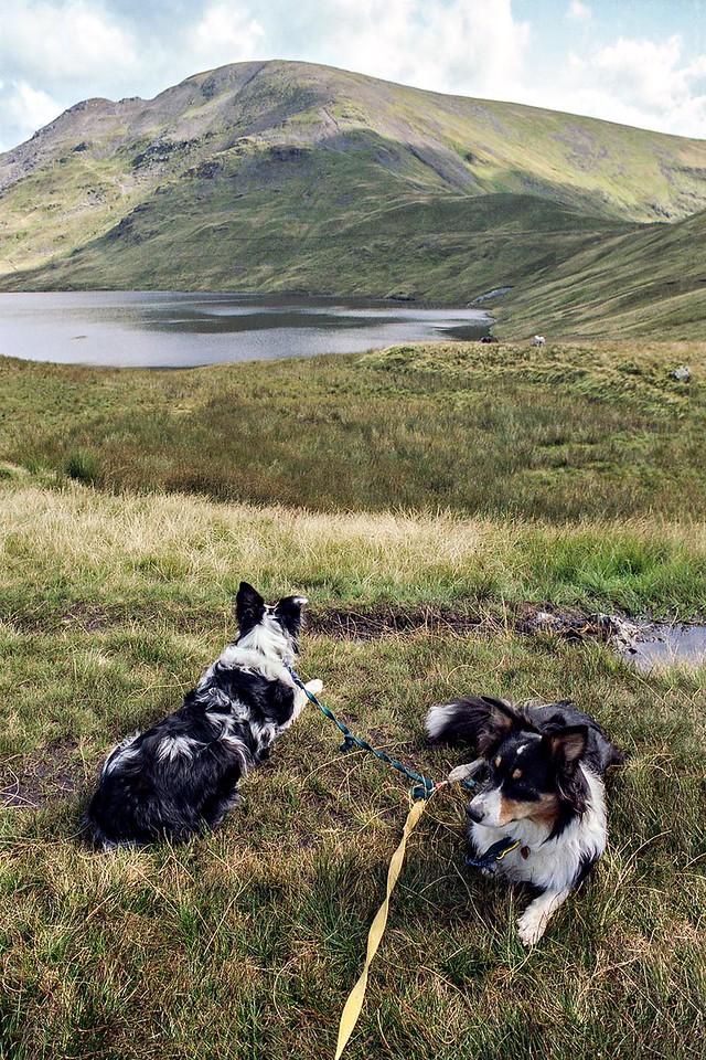 Overlooking Grisedale Tarn : Cassie Set On Sheep