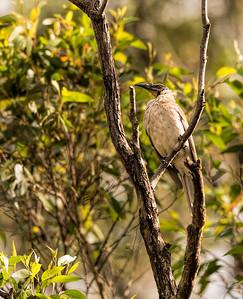 Noisey Friarbird