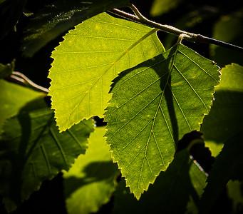 Backlit Shades of Green