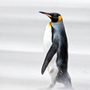 The king penguin, quite secure in his stature with dignity and grace