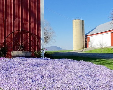 Phlox on the farm.