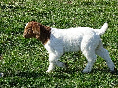 Is this kid bored? No, it's a Boer goat kid.