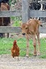 A curious new calf investigates one of the 1.000 free range feathered creatures on the James and Janet Byers farm where organic raw milk is sold for $6 a gallon and organic pasture, no soy, no GMO eggs are priced at $3.75 a dozen, at a roadside refrigerator along Church Hill Road.