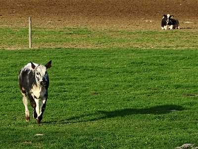 Running Lineback and resting Holstein cows.