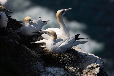 Gannets are nesting on the cliffside and easily photographed by those brave enough to approach the edge.  (Morus bassanus)