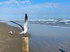 Seagulls at Mustang Island
