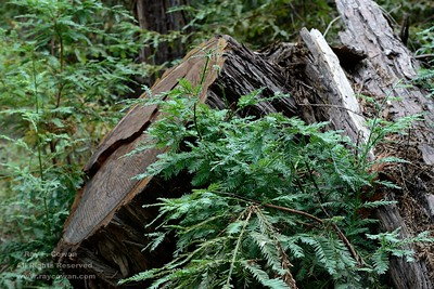 Redwood stump and new growth, Coast Ranges,  San Mateo County, California