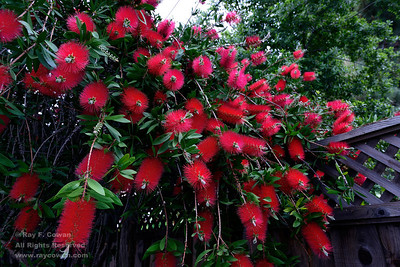 Red bottle brush flowers in bloom on an April evening