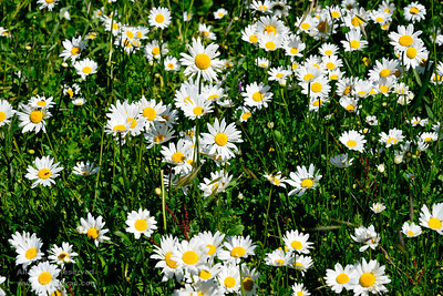 Common daisies in late spring, Coast Ranges, Santa Clara County, California