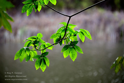 New leaf growth in early spring at Horseshoe Lake, Coast ranges, Santa Clara County, California