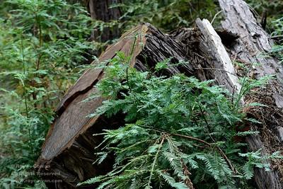 Redwood stump and new growth, Coast Ranges,  San Mateo County, California