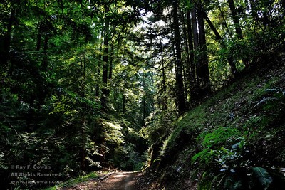 Sunlight shining through second-growth redwoods on the El Corte de Madera Creek trail, Coast Ranges, San Mateo County, California