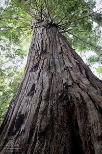 Last remaining old growth redwood in El Corte de Madera Creek Open Space Preserve