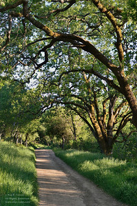 Trail and oaks in afternoon sun. Coast ranges, San Mateo County, California
