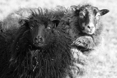 'Black Sheep'