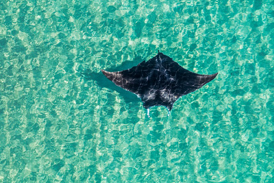 Aerial Manta in Shallow Water
