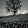 Wulfhall Tree