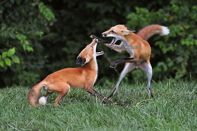 Red Fox Feud - 189