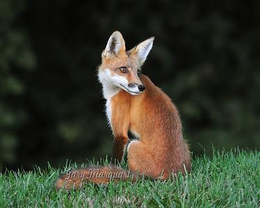 Fox -  098