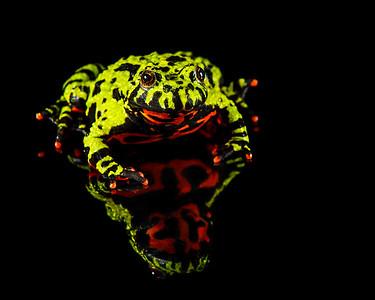 FrogsCh5-07P__firebellied_4930L_080113_174314_5DM3L
