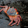 Sally-Lightfoot Crab, Espanola Is.<br /> Sept.9, 2007<br /> ©Peter Candido 2007.  All rights reserved.