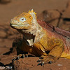 Land Iguana<br /> N. Seymour Is., Galapagos<br /> Sept.7, 2007<br /> ©Peter Candido All Rights Reserved