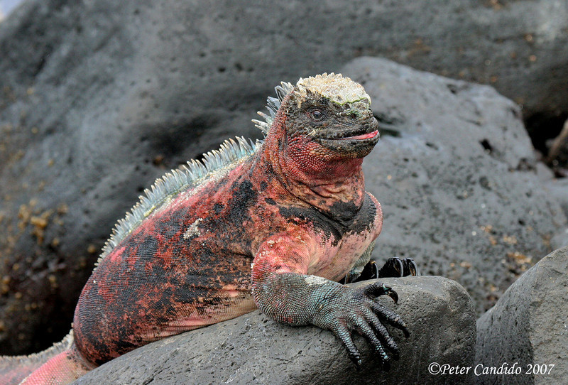 Marine Iguana, Espanola Is.<br /> Sept.9, 2007<br /> ©Peter Candido 2008.  All rights reserved.<br /> These animals are extremely variable in appearance. On Espanola, they are patterned mainly in red, green and black as shown by the three photos in this gallery.