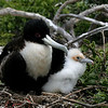 Great Frigatebird, female and chick<br /> Genovesa Is.<br /> Sept.13, 2007<br /> ©Peter Candido All Rights Reserved