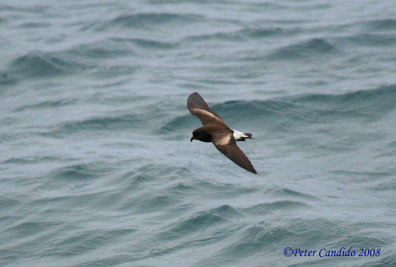 Wedge-rumped Storm-Petrel<br /> off Espanola Is.<br /> Sept. 9, 2007<br /> ©Peter Candido 2007.  All rights reserved.