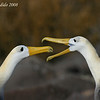 Waved Albatross, pair<br /> Espanola Is.<br /> Sept.9, 2007<br /> ©Peter Candido. All rights reserved.