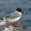 Swallow-tailed Gull<br /> Espanola Is.<br /> Sept.9, 2007<br /> ©Peter Candido. All rights reserved.