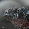 Marine Iguana, Espanola Is.<br /> Sept.9, 2007<br /> ©Peter Candido 2008.  All rights reserved.