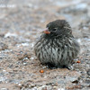 Sharp-beaked Ground Finch, female<br /> Genovesa Is. <br /> Sept.13, 2007<br /> ©Peter Candido. All rights reserved.