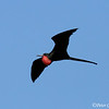 Magnificent Frigatebird male with pouch inflated<br /> N. Seymour Is., Galapagos<br /> Sept.7, 2007<br /> ©Peter Candido All Rights Reserved