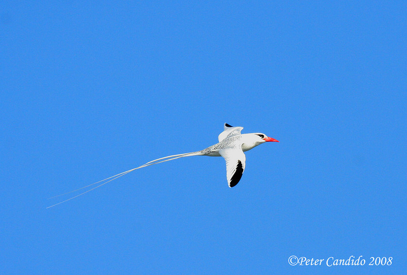 Red-billed Tropicbird<br /> Espanola Is.<br /> Sept.9, 2007<br /> ©Peter Candido. All rights reserved.