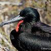 Magnificent Frigatebird male<br /> N. Seymour Is., Galapagos<br /> Sept.7, 2007<br /> ©Peter Candido All Rights Reserved