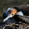 Great Frigatebird chick<br /> N. Seymour Is., Galapagos<br /> Sept.7, 2007<br /> ©Peter Candido All Rights Reserved