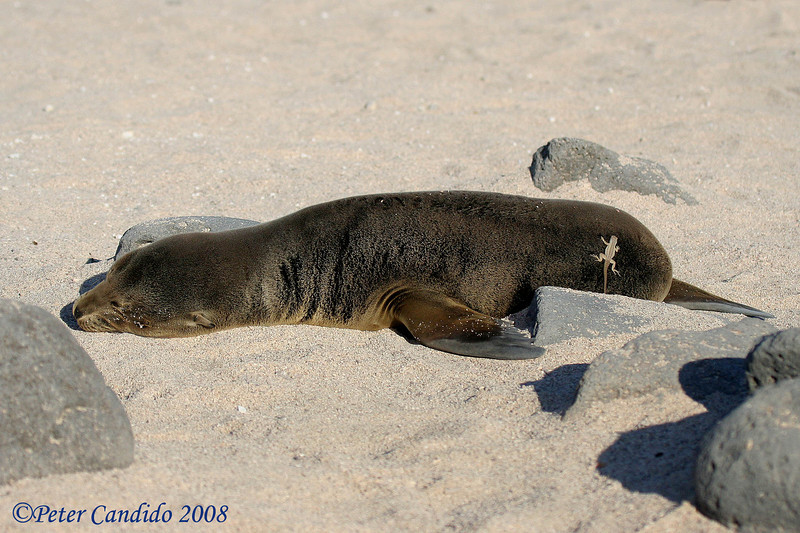 Galapagos Sea Lion pup with lava lizard<br /> N. Seymour Is., Galapagos<br /> Sept.7, 2007<br /> ©Peter Candido All Rights Reserved