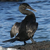 Flightless Cormorant<br /> Fernandina Is., Galapagos<br /> Sept.11, 2007 <br /> ©Peter Candido All Rights Reserved