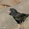 Large Ground Finch, male<br /> Espanola Is.<br /> Sept.9, 2007<br /> ©Peter Candido. All rights reserved.