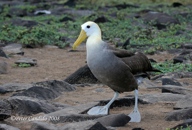 Waved Albatross<br /> Espanola Is.<br /> Sept.9, 2007<br /> ©Peter Candido. All rights reserved.